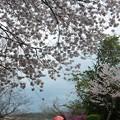 花より談話:杉村公園桜25