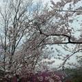 杉村公園桜22