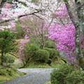 春色小路:杉村公園桜21
