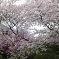 杉村公園桜05