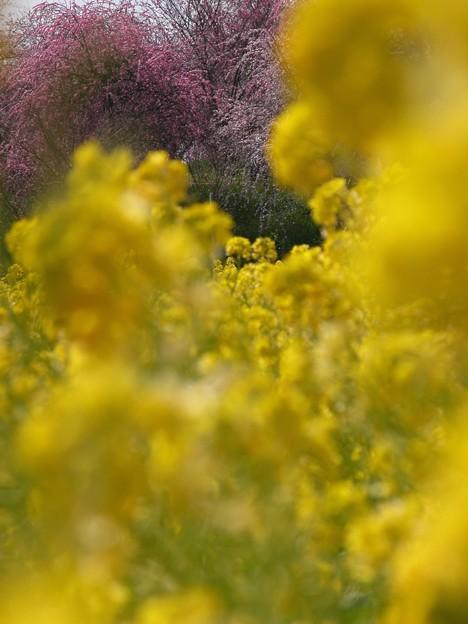 菜の花畑03