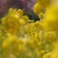 写真: 菜の花畑03