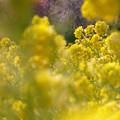 写真: 菜の花畑02