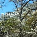 写真: こぶし~駒沢公園