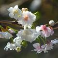 写真: 子福桜~徳川庭園
