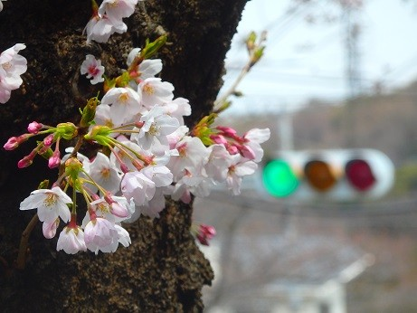 桜~逗子ハイランド
