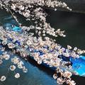 写真: お花見ボート~目黒川