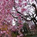 下から見上げて枝垂桜