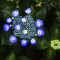 写真: 水面(みなも)に浮かぶ紫陽花...........風(笑)