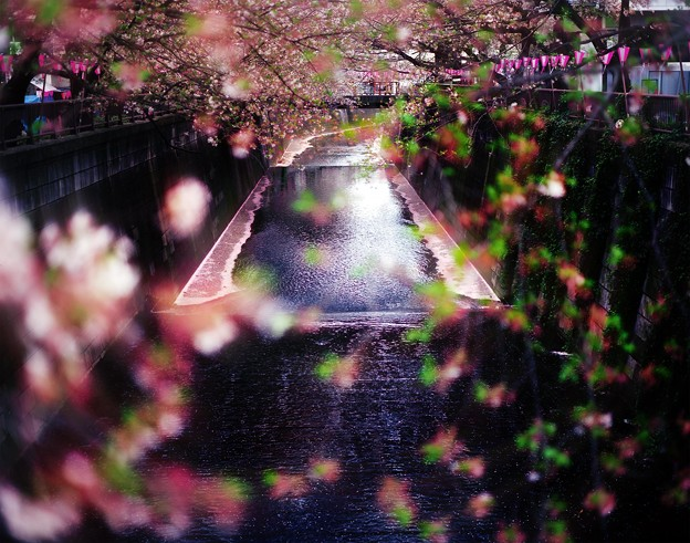 写真: 『目黒川葉桜写真-桜川怪暗光-』