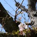 写真: 初桜