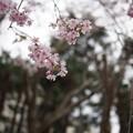 写真: 赤羽西口 桜