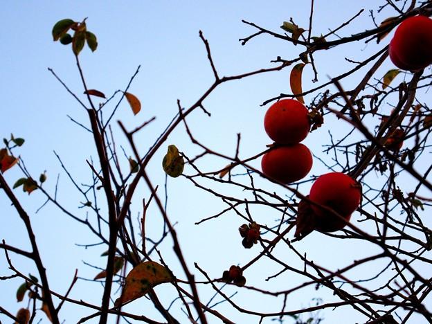 浮間 観音寺付近 柿の木