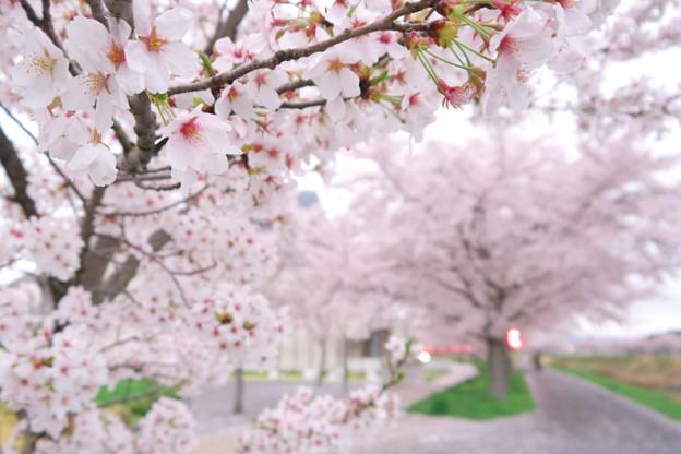 Photos: 桜並木 02