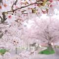 桜並木 02