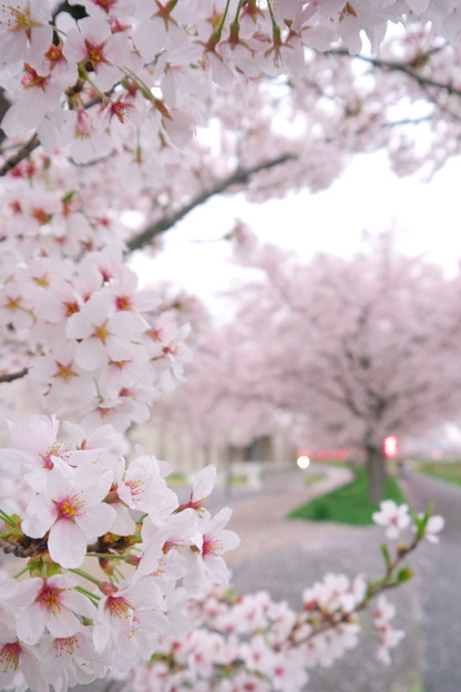 Photos: 桜並木 03