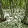 美人林II「根開けのブナ林」