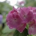 紫陽花 (4)