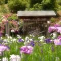 Photos: 横須賀菖蒲園