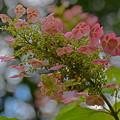写真: 柏葉紫陽花1-2