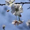 十月桜咲く