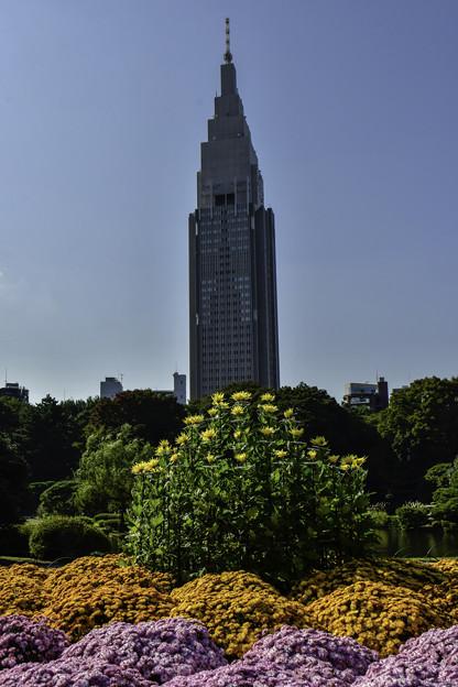 ドコモビルと菊花