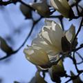 ハクモクレン咲く