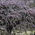 写真: 御苑の枝垂れ桜