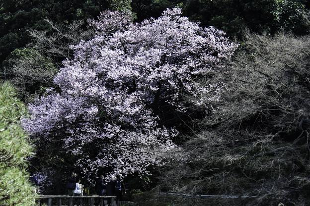 写真: 高遠小彼岸桜