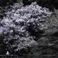 Photos: 高遠小彼岸桜