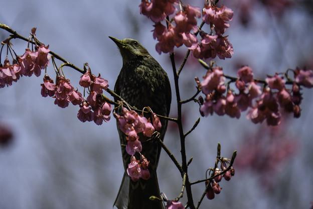Photos: ヒマラヤ緋桜
