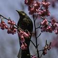 写真: ヒマラヤ緋桜