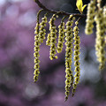 写真: ハチジョウキブシ