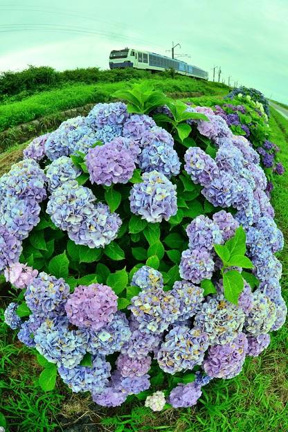 丸い紫陽花