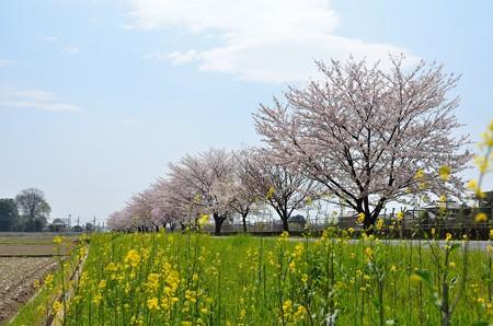 見沼用水の桜並木