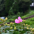 Photos: 芙蓉と線路