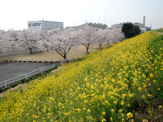 工業団地公園の桜