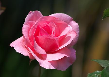 散歩道の野薔薇