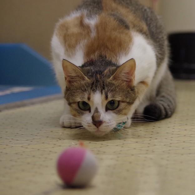 写真: ボールで遊ぶニャ(=^x^=)