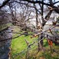 公民館前の桜