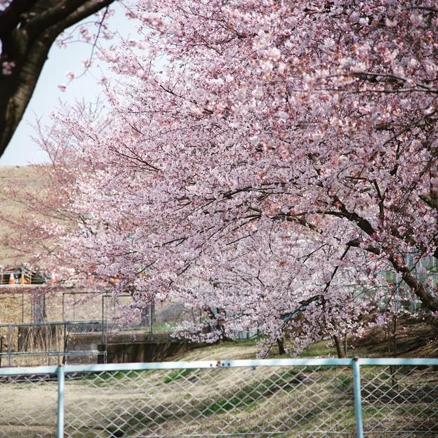 写真: 芳野台野球場の桜