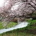 写真: 工業団地入口の桜