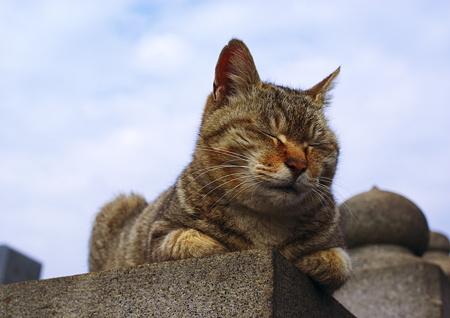 谷中霊園のキジトラさん