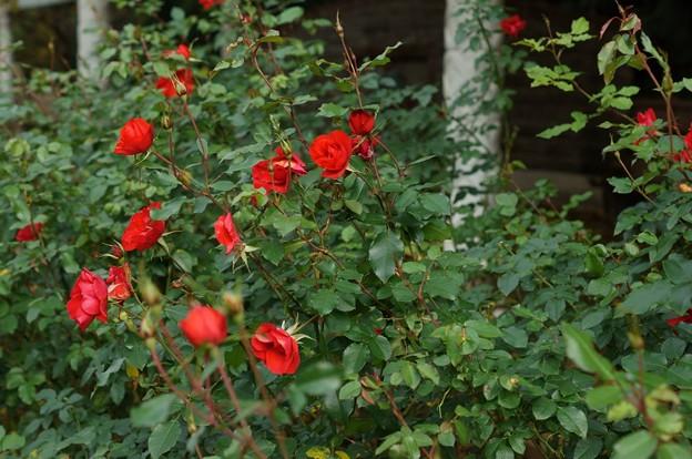 薔薇 ラ・セビリアーナ