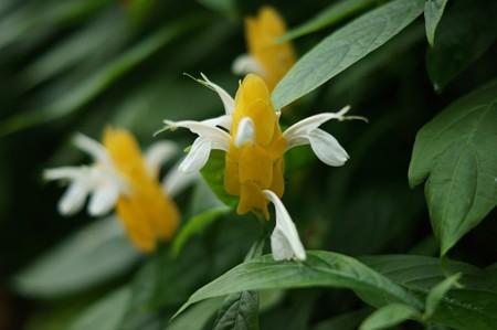 鬱金珊瑚花(ウコンサンゴバナ)