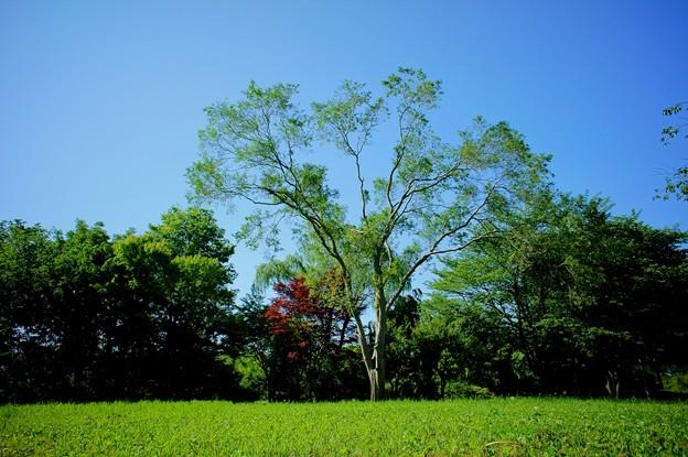 秋楡(アキニレ)