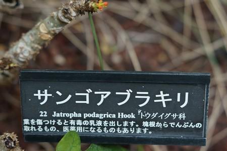 徳利油桐(トックリアブラギリ)