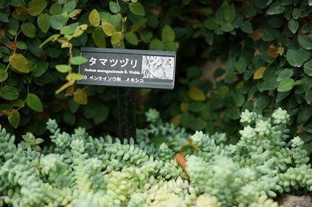 玉綴り(タマツヅリ)