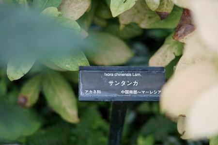 山丹花(サンタンカ)