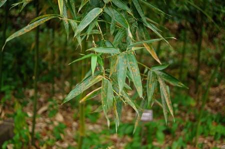 紺縞竹(コンシマダケ)